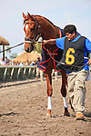 Animal Kingdom being lead over to the saddling paddock at Gulfstream Park, Hallandale Beach Florida