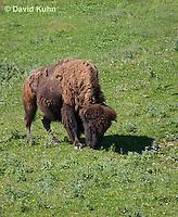 0621-1003  American Bison (American Buffalo), Bison bison  © David Kuhn/Dwight Kuhn Photography