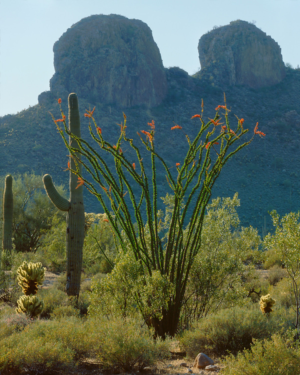 Ocotillo in bloom and saguaro cacti in the Superstition Mountains along the Apache Trail; Tonto National Forest, AZ