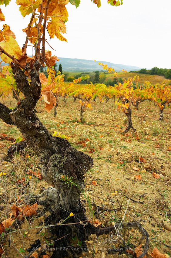 An old Grenache vine with yellow autumn leaves. Vineyard in the background Domaine Viret, Saint Maurice sur Eygues, Drôme Drome France, Europe