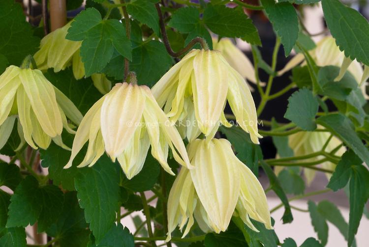 Clematis koreana AMBER ('Wit141205') winner best new plant at Chelsea Flower Show 2016, yellow flowered perennial vine