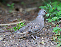 Immature common ground-dove