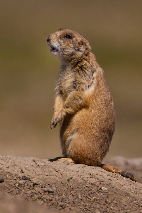 Black-tailed Prairie Dog standing outside its burrow