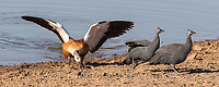It was our first time photographing this species. The male didn't seem keen on sharing a watering hole with other birds of similar size. It spent a lot of time chasing guineafowl.<br /> <br /> Photo © Jennifer Waugh