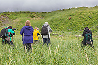 A group of photographers take pictures of a coastal brown bear in the green meadows of Katmai National Park, Alaska Peninsula, southwest, Alaska.