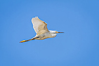 Snowy  Egret in flight against bright blue sky