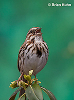 SW01-9005 Song Sparrow Male singing, Melospiza melodia, © Brian Kuhn/Dwight Kuhn Photography.