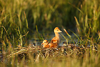Sandhill Crane ( Grus canadensis) chicks in a nest in a flooded pasture. Sublette County, Wyoming. May.