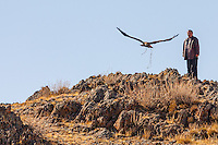 Asia, Mongolia, Altai mountain, Bayan-Ulgii,Saikhsai,golden eagle 3 years old named Tastulukh under hunting training