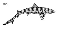 Leopard shark, Triakis semifasciata, swimming, pen and ink illustration.