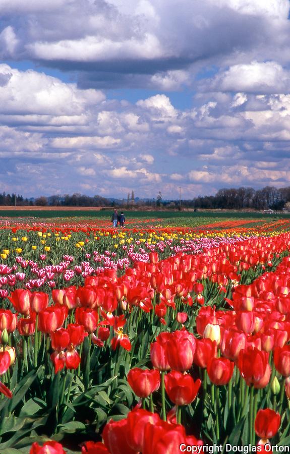 Couple walking rows in tulip farm, Willamette Valley, Oregon