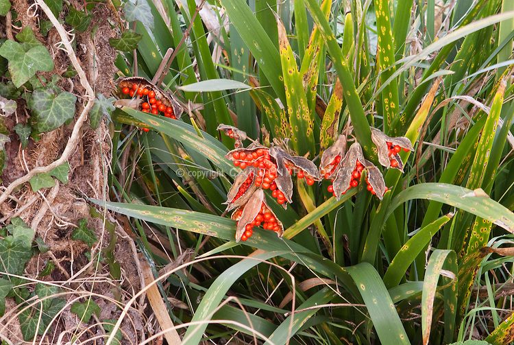 Iris foetidissima in berry in fall