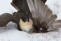 Adult Pomarine Jaeger (Stercorarius pomarinus) lies dying in teh snow. This bird was Indiscriminately shot by a native hunter. Barrow, Alaska. June.