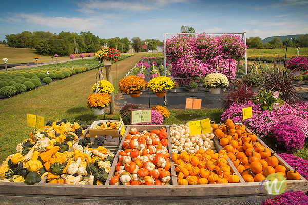 Nippenose Valley. Roadside stand with pumpkins