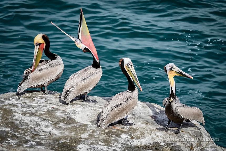 A tableau of pelican behavior at La Jolla Cove near San Diego, California