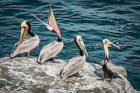 A tableau of pelican behavior at La Jolla Cove near San Diego, California