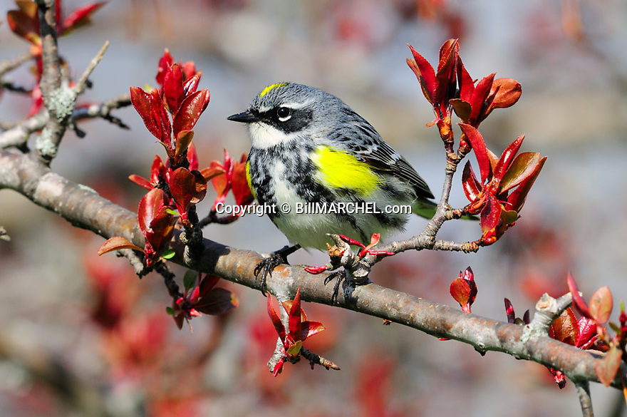 01252-006.11 Yellow-rumped Warbler male is perched in red splendor crab apple tree.  Migration, landscape, backyard.