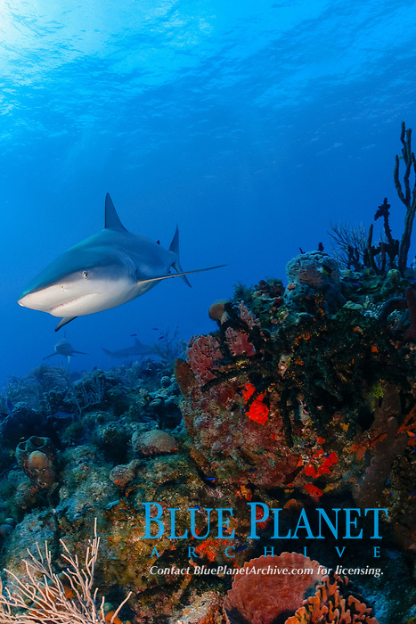 Caribbean reef shark, Carcharinus perezii, Bahamas (W. Atlantic) (do)
