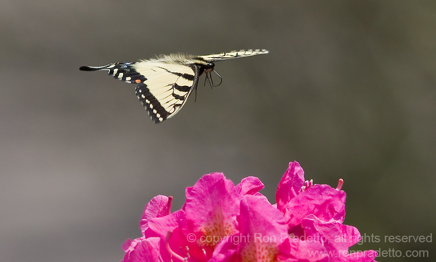 butterflies & hummingbirds flying to the nectar, Spring 2012, Jacobsburg, Ohio.