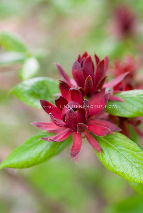 Calycanthus floridus Spicebush Sweet Betsy in red flowering bloom in summer, native American plant, soft background, red and green colors reminiscent of Christmas holiday