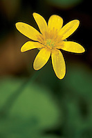 Lesser Celandine (Ranunculus Ficaria), Mouse Water