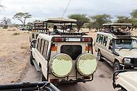 Tanzania. Tarangire National Park. Vehicles Stopped for a Lion.