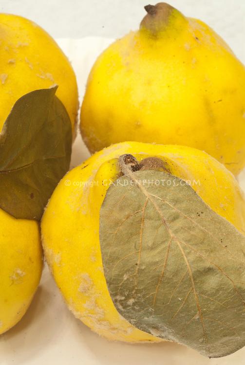Cydonia oblonga Quince 'Meech's Prolific' autumn fruit