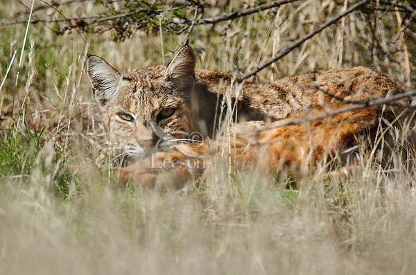 Wild Bobcat (Lynx rufus) resting on grassy hillside in Central California.  December.  (Completely wild, non-captive cat.)