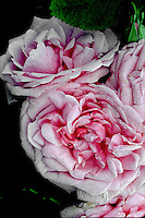 Rosa 'Comtesse de Chambord'  (Portland Rose) pink lavender, antique old heirloom roses