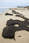 Seaweed Washed Ashore