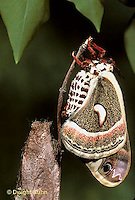 LE03-093x  Cecropia Moth - adult emerging from cocoon, wings inflated - Hyalophora cecropia