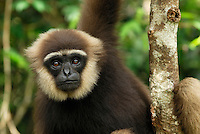 Dark-handed or Agile Gibbon (Hylobates agilis), adult, Camp Leaky, Tanjung Puting National Park, Kalimantan, Borneo, Indonesia
