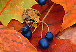 Wood frog, Minnesota