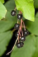 Gewöhnliche Traubenkirsche, Trauben-Kirsche, Frucht, Früchte, Prunus padus, European Bird Cherry, Merisier à grappes