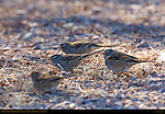 White-crowned Sparrows Foraging, Bosque del Apache Wildlife Refuge, New Mexico