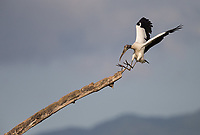 A Wood stork lands on a large branch near the Rio Tarcoles.