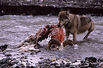Gray Wolf feeding on a Dall Sheep carcass in Denali National Park.