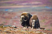 Bull muskox courts a cow on the autumn tundra of Anvil mountain in Nome, Alaska.