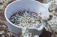 Schlehenblüten-Wein, Schlehenblütenwein, Schlehenwein, Schlehenblüten in Wein, Rotwein, Blütenwein, Blüten-Wein, Schlehe, Schlehen, Gewöhnliche Schlehe, Schwarzdorn, Blüte, Blüten, Schlehenblüte, Schlehen, Prunus spinosa, Blackthorn, Sloe, vine, Epine noire, Prunellier
