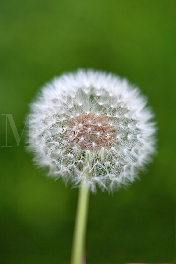 Dandelion parachute ball with green background