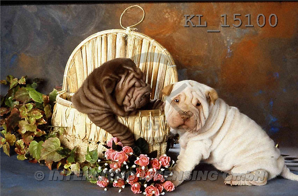 Interlitho, Alberto, ANIMALS, dogs, photos, 2 shar pei in basket(KL15100,#A#) Hunde, perros