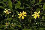 Woodland sunflower several flowers on tall plant stalks.