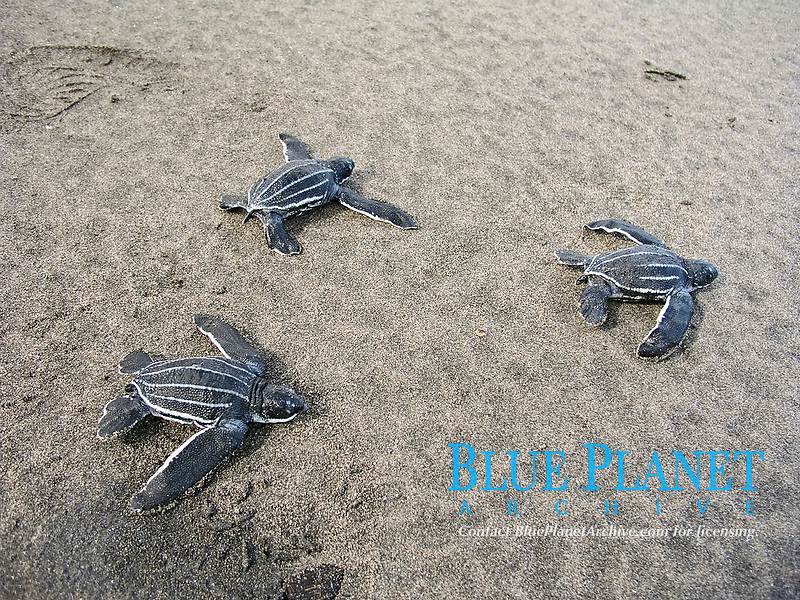 leatherback sea turtle hatchlings, Dermochelys coriacea, running to the sea, Dominica, Caribbean, Atlantic Ocean