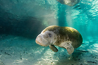 Florida Manatee, Trichechus manatus latirostris, A subspecies of the West Indian Manatee. A Manatee seeks the the warm waters of Three Sisters Springs. Crystal River, Florida.