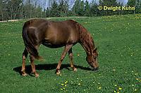 SH06-001z  Arabian Horse - pregnant mare