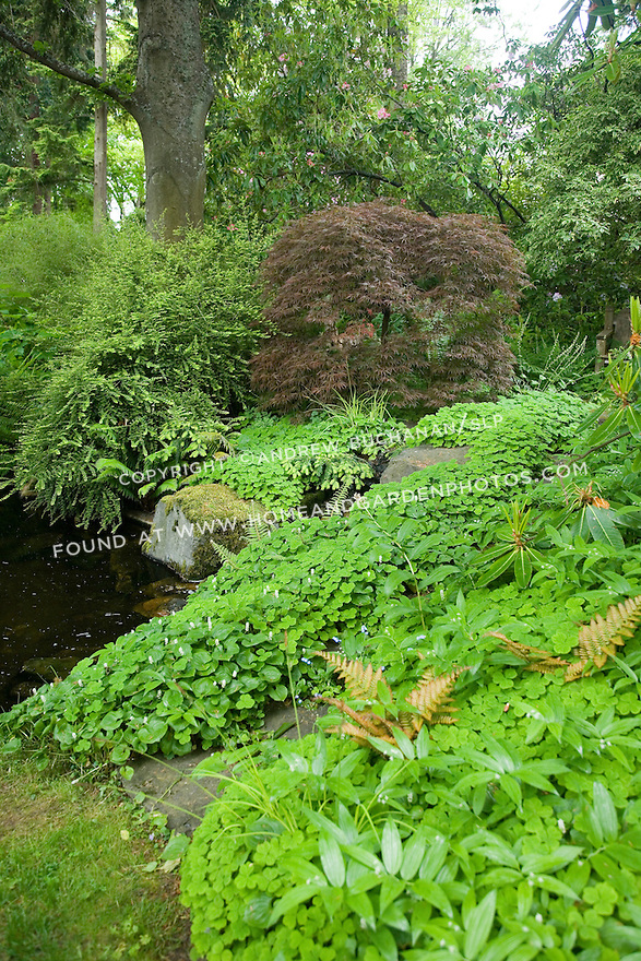 A hillside features mossy rocks, oxalis, a red Japanese maple and other woodland plants spilling to the edge of a small pond at the Dunn Gardens, a former private estate near Seattle now run as a woodland botanical garden and available for touring by appointment and fee.