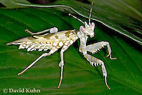 "0223-07oo  Spiny Flower Mantis (#9 Mantis) - Pseudocreobotra wahlbergii ""Female"" - © David Kuhn/Dwight Kuhn Photography"