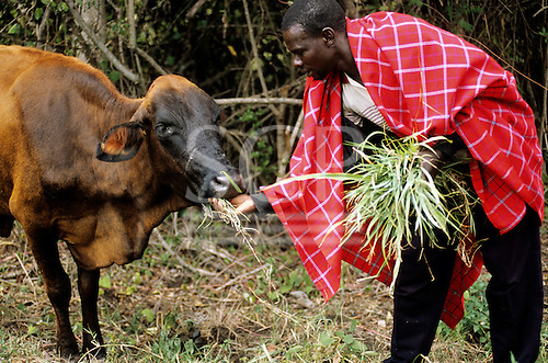 Lolgorian, Kenya. Leonard, a Siria Maasai man feeding a cow with a medicinal plant used to treat foot and mouth disease.