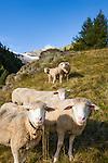 Switzerland, Canton Valais, Fafleralp im Loetschental: sheep at mountain pasture, at background Bernese Alps | Schweiz, Kanton Wallis, Fafleralp im Loetschental: Schafe auf Almwiese, im Hintergrund die Berner Alpen