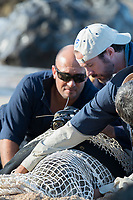 NOAA researchers Mark Sullivan (front) and Sean Guerin (left) restrain a Hawaiian monk seal, Neomonachus schauinslandi, while lead scientist Dr. Charles Littnan (center) attaches a Crittercam and tracking instrumentation package to it as part of Hoiki a Maka project; west end of Molokai, Hawaii, photo taken under NOAA permit 10137-6